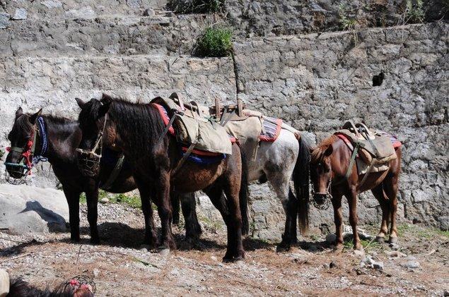 Nos chevaux qui porteront le matériel et les provisions