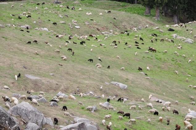 Moutons à perte de vue