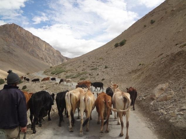 Route vers Langza ... à partager avec les vaches