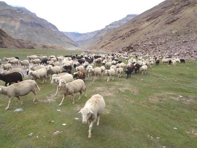 Notre campement est submergé par un troupeau de moutons. 700 bêtes ! On dit que les animaux s'immunisent et deviennent plus fertiles en séjournant dans la région