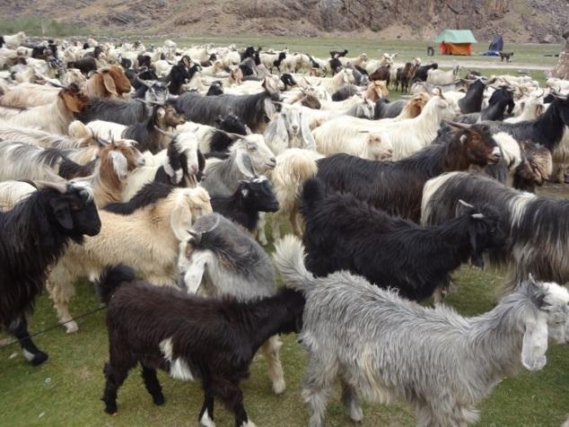 Le lendemain matin, ce sont des chèvres qui traversent notre camp