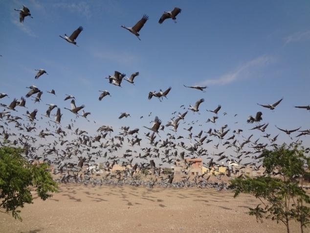 Courte halte pour admirer des grues demoiselles - qui reviennent chaque année dans le petit village de Kichan.