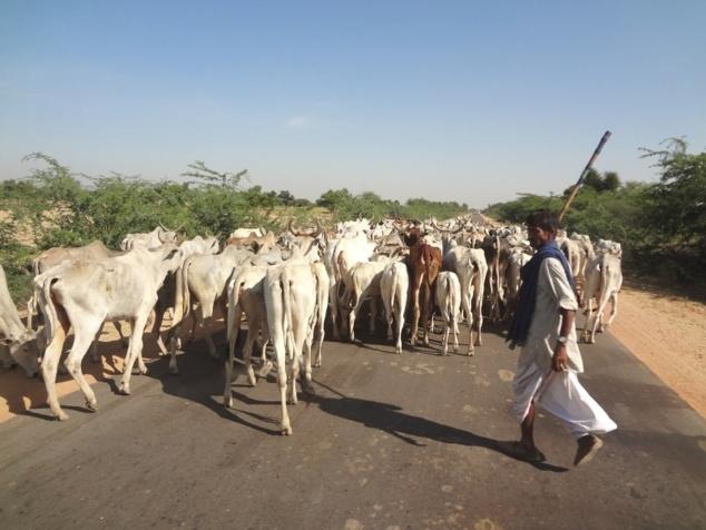 Nous partageons la route avec les vaches.