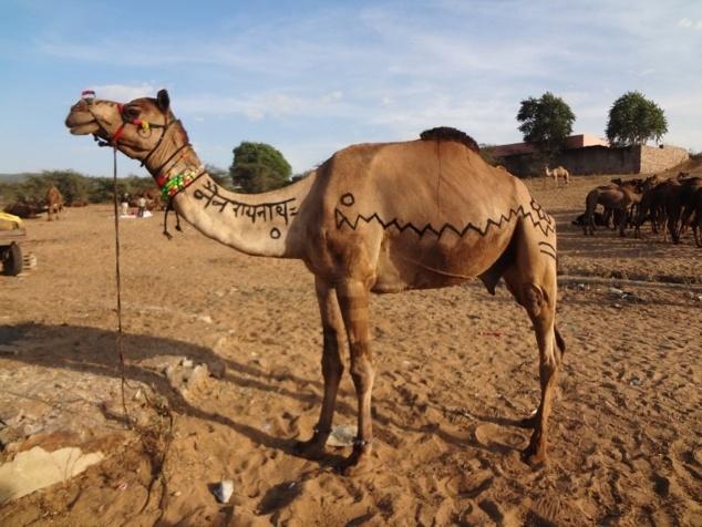 """Ce jeune chameau vient d'être vendu. Il porte sur le cou le nom de son nouveau propriétaire : """" Nainarâyanâth """"."""