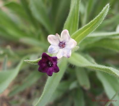 Arnebia euchromia