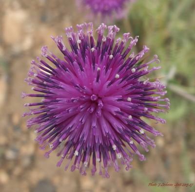 Cousinia thomsonii