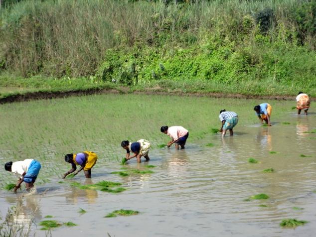 Le dur labeur qui consiste à repiquer le riz est réservée aux femmes.