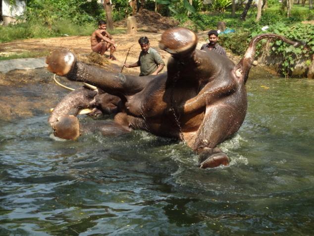 L'animal fait des efforts spectaculaires pour tenter de se retourner.