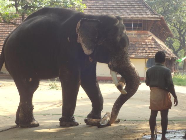 Séance de dressage. L'animal doit prendre et soulever du bois. L'exercice vise à développer sa dextérité en la matière.