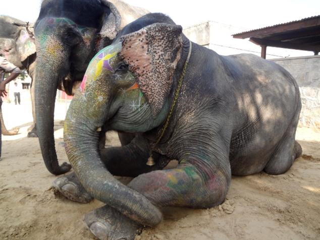 Eléphants au repos.