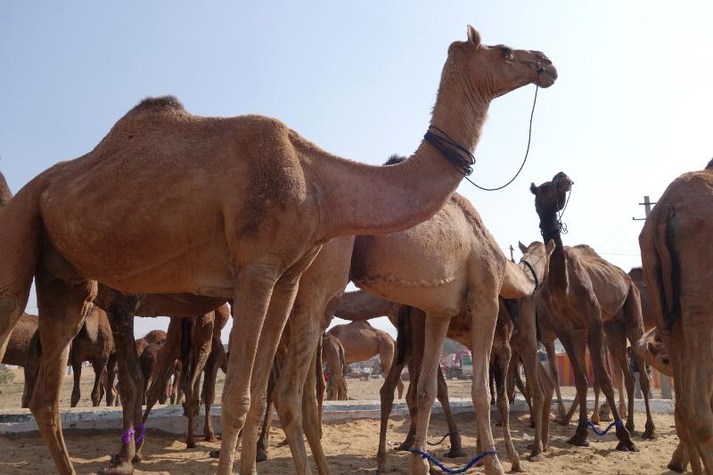 Pushkar est l'une des plus grande foire aux chameaux du monde
