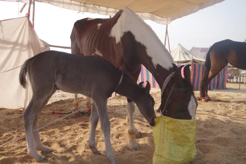 C'est aussi une foire aux chevaux et autres bestiaux. Les chevaux du Rajasthan ont des oreilles en forme de lyre