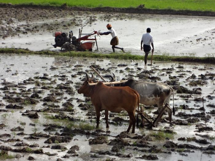 De nouveau sur la route où il y a tant à observer et à apprendre. Ici le laboure d'une rizière avec d'un côté la mécanisation en marche et au premier plan la méthode ancienne qui perdure.