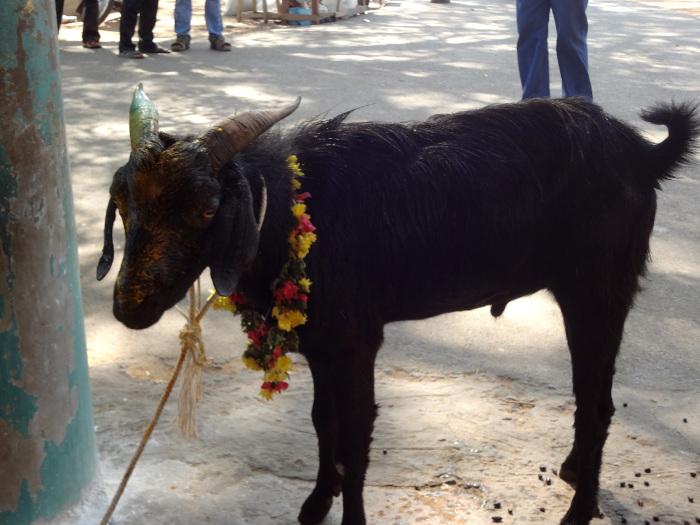 Dans un sanctuaire secondaire, des animaux sont sacrifiés. Cette chèvre a été préparée et ornée d'une guirlande de fleurs pour le rituel sacrificiel.