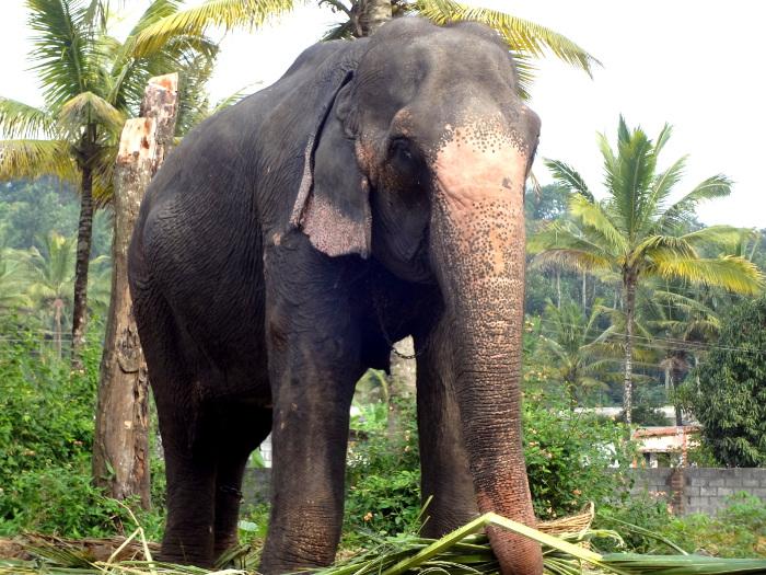 L'éléphant - ici il s'agit d'une éléphante - est l'animal emblématique de l'Inde. Il représente entre autres la force et la bonhomie. Le dieu le plus populaire en Inde, celui qui est vénéré toujours en premier, c'est à dire avant tous les autres dieux, à savoir Ganesh, a une tête d'éléphant. Ganesh est aussi le dieu des voyageurs.