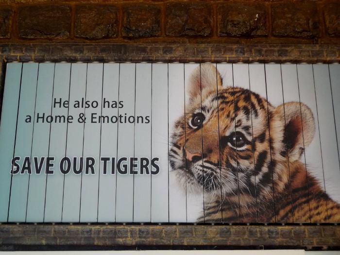 A cause du braconnage, un programme de protection des tigres s'est révélé nécessaire.