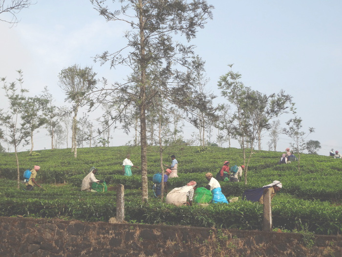 """Nous allons en direction de la côte du Malabar en passant par les hauteurs du Kérala, les """"ghâts"""", sur les pentes desquelles s'étendent des plantations de thé."""