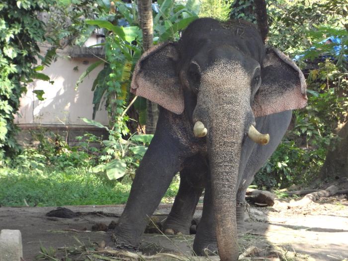 INDE DU SUD: éléphants kéralais.