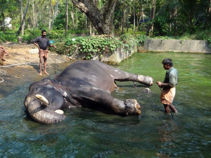 """Couché sur le flanc dans sa """"baignoire"""", cet éléphant va avoir beaucoup de difficulté pour se retourner à la demande de son cornac."""