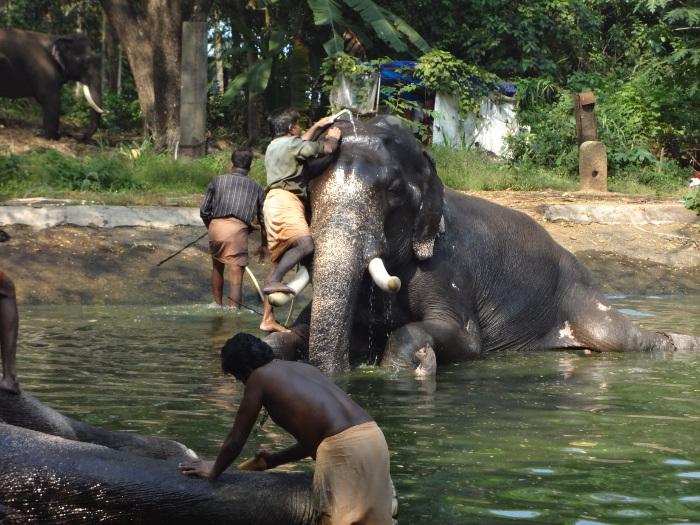 L'éléphant littéralement exténué a pu enfin se redresser. Le toilettage peut se poursuivre.