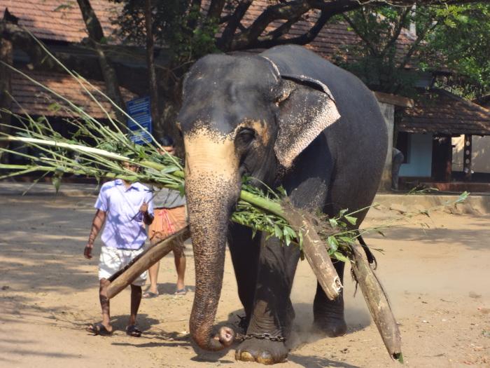 L'éléphant coince sa charge entre ses défenses et sa trompe. Exercice réussi.