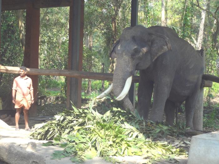 Repas éléphantesque. Un éléphant absorbe pas moins de 300 kg de fourrage par jour.